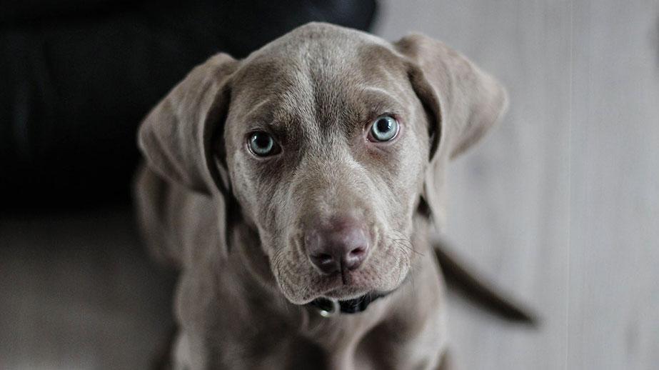 Gray Puppy